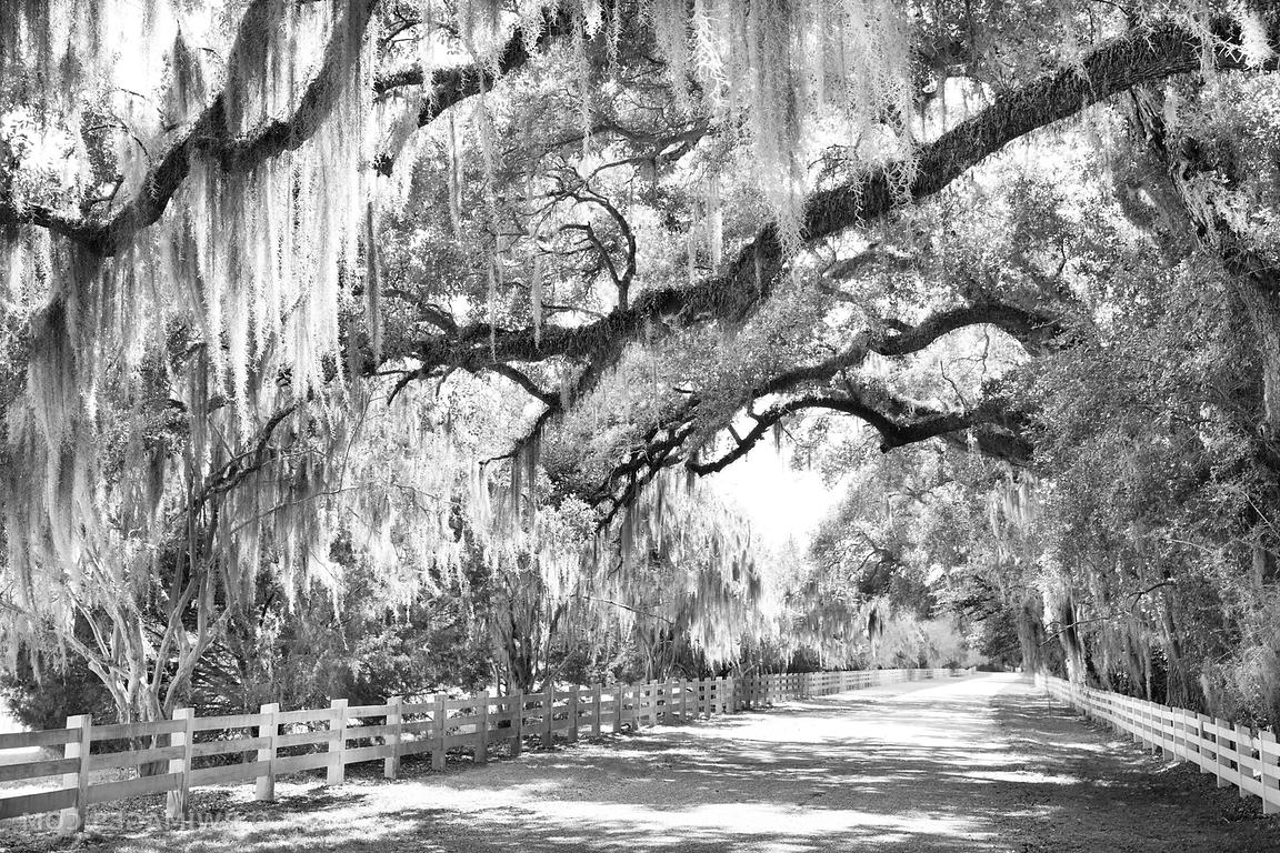 2018 Photo Print Of Country Road Live Oak Spanish Moss Rosedown In Live Oak Tree Wall Art (View 1 of 15)