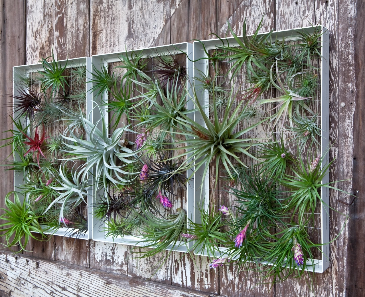 Featured Photo of Air Plant Wall Art