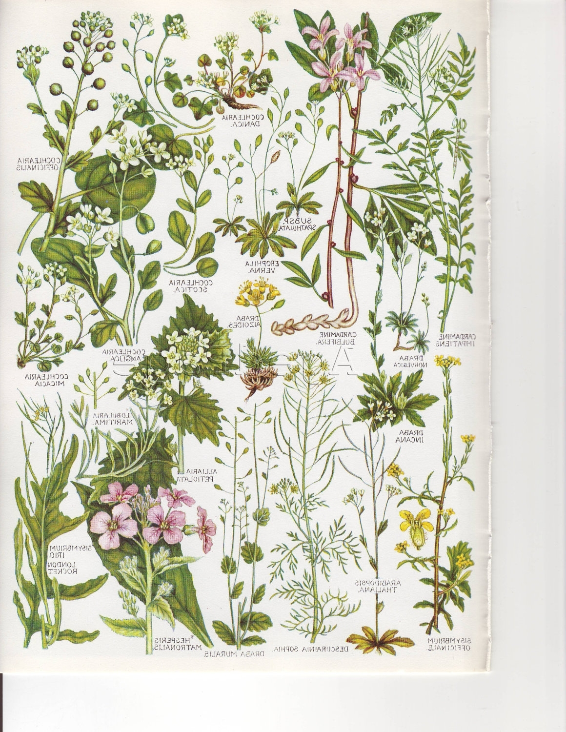 Botanical Prints Etsy For Most Recently Released Vintage Botanical Print, British Wildflower Chart, Art (View 3 of 15)