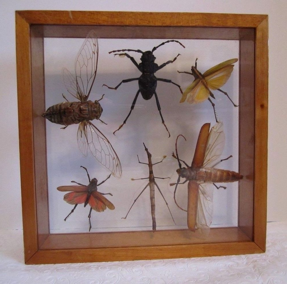 Favorite Insect Wall Art With Regard To Real Insect Shadow Box Creepy Crawler Wall Art Bug Double Glass (View 5 of 15)
