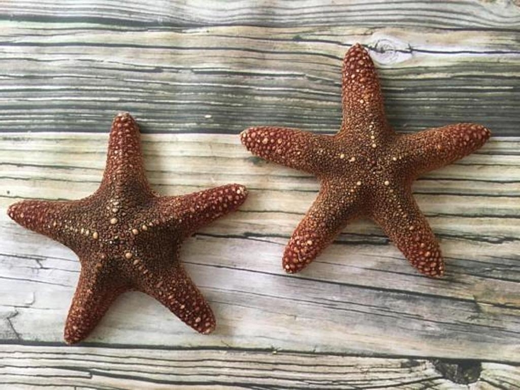Large Starfish Wall Decors With Most Popular Large White Starfish Wall Design : How To Design With Large (View 8 of 15)