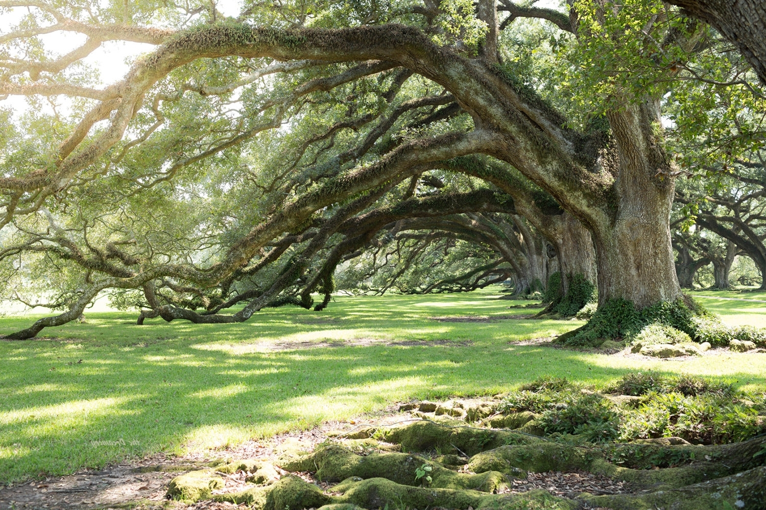 Latest Live Oak Tree Wall Art For Louisiana Photography Live Oaks Oversize Wall Art Rustic (View 2 of 15)