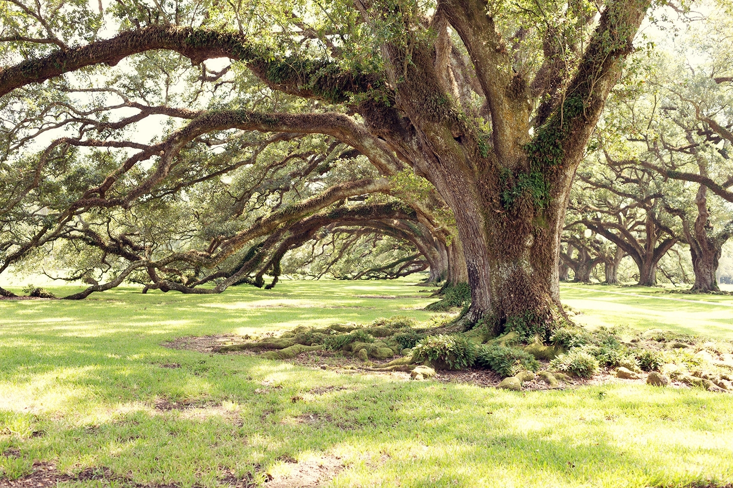Louisiana Photography Live Oaks Oversize Wall Art Rustic With Favorite Live Oak Tree Wall Art (View 8 of 15)