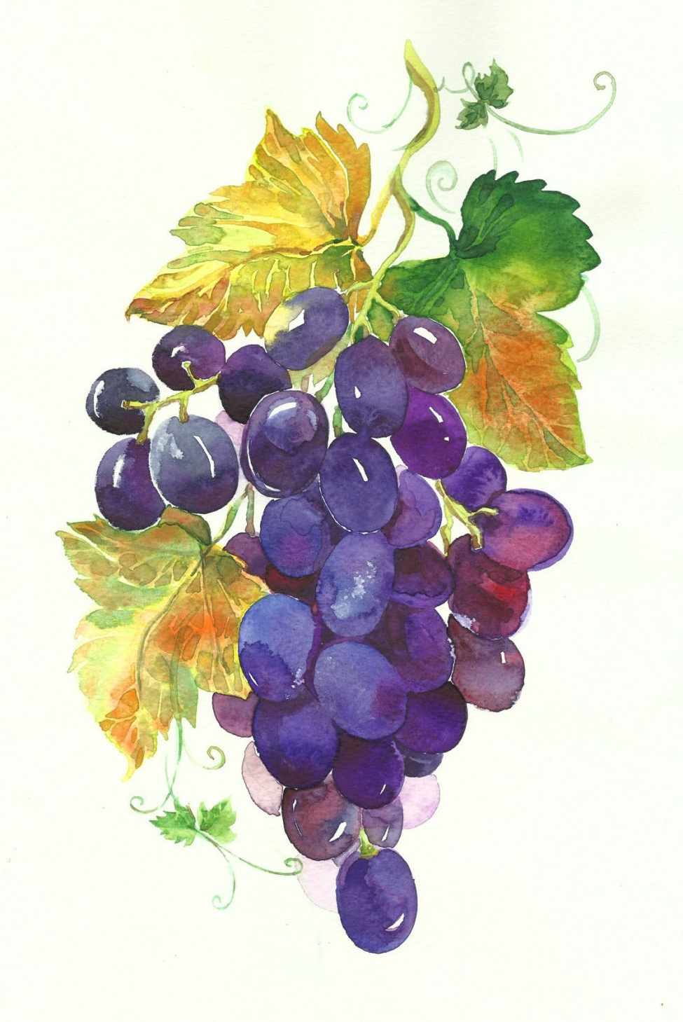 Most Recent Clipart Watercolour Grapes, Grapes Green, Grapes Black, Digital With Grape Colour Wall Art (View 11 of 15)