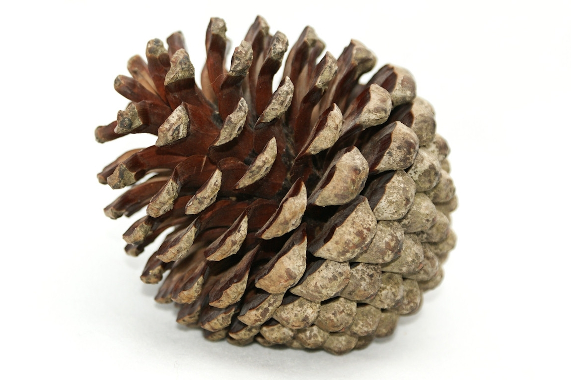 Popular Pine Cone Wall Art – Dma Homes (View 13 of 15)