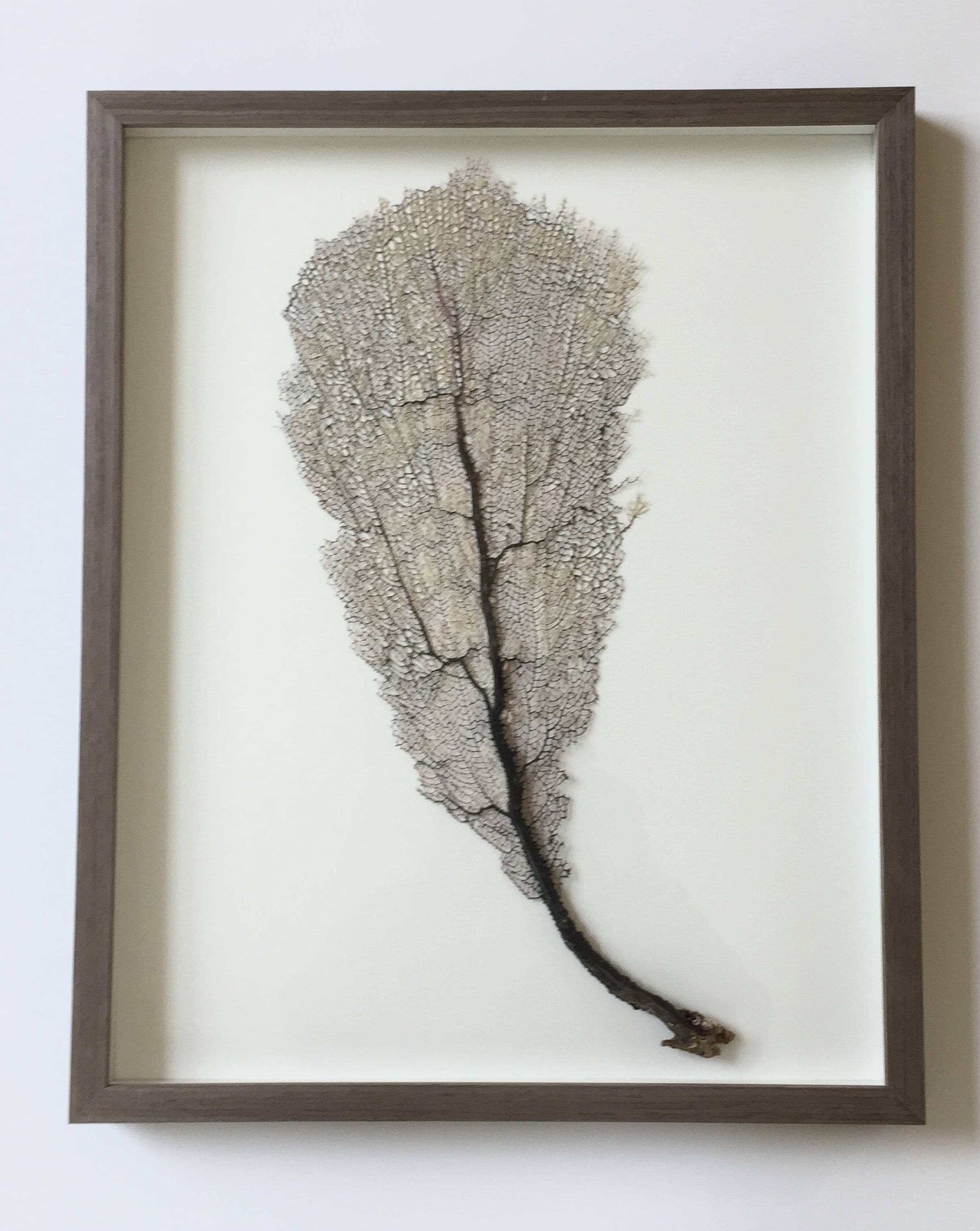 Preserved Sea Fan Coral Home Decor Sea Fan Sea Fan Art Sea Fan Throughout Well Known Sea Fan Wall Art (View 6 of 15)