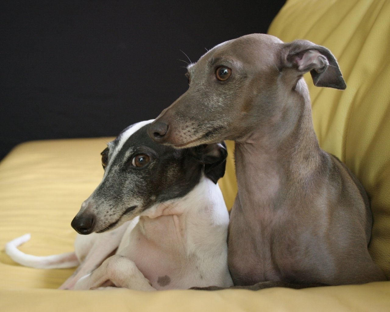 Recent Italian Greyhound Wall Art With Regard To Italian Greyhound (Gallery 11 of 15)