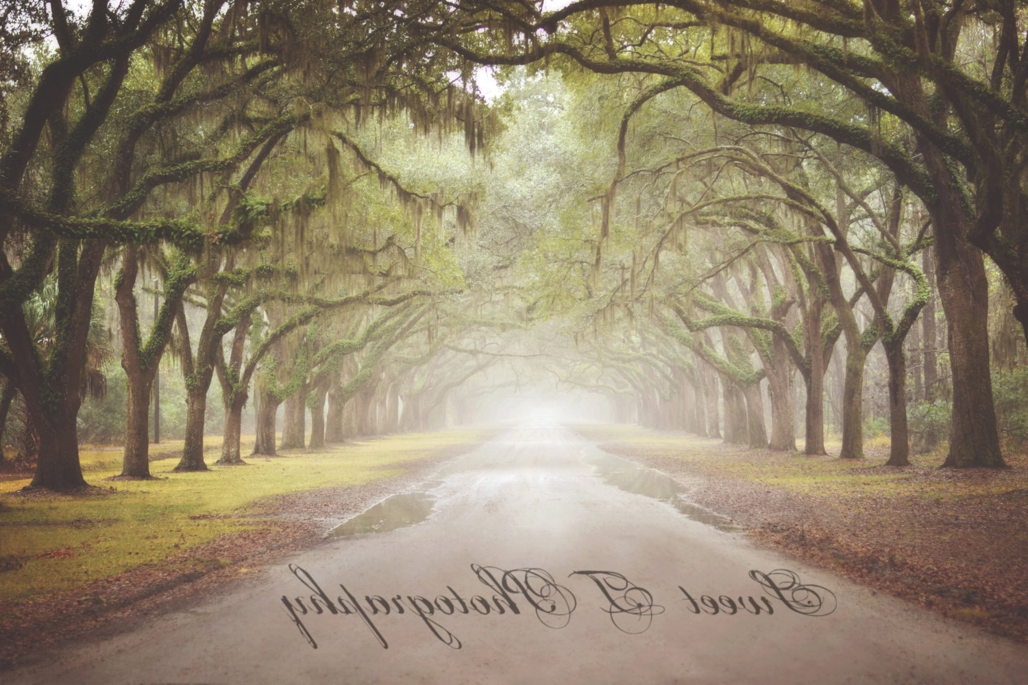 Savannah, Georgia Wormsloe Plantation (Used In The Last Song) Fine For Trendy Live Oak Tree Wall Art (Gallery 13 of 15)