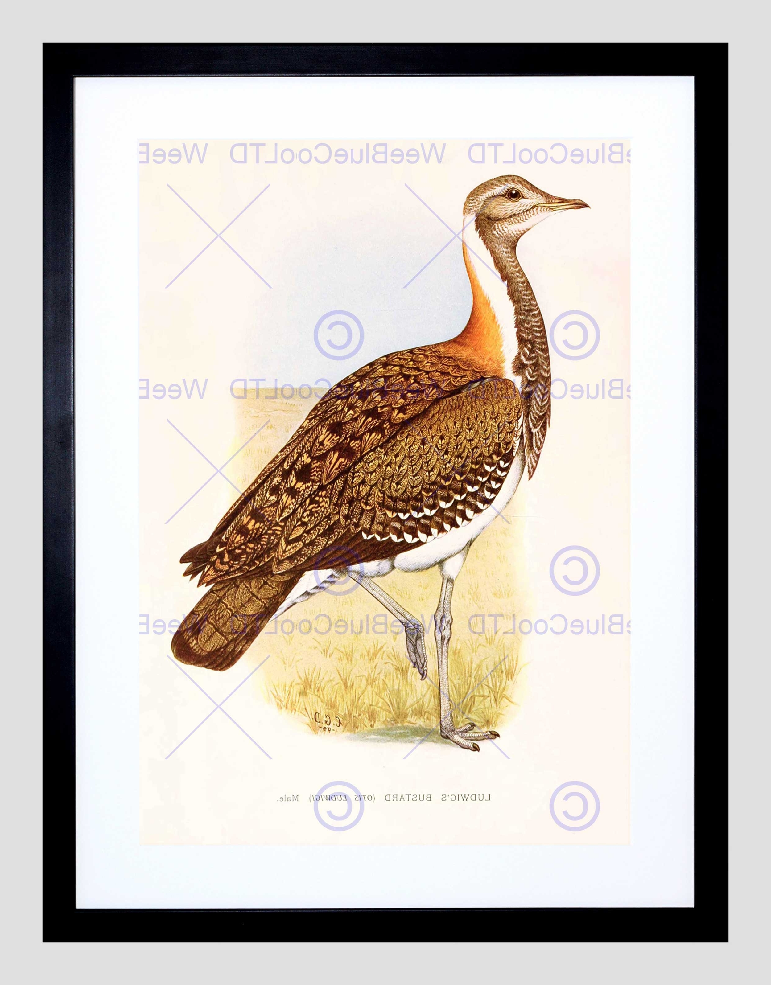 Favorite South Africa Framed Art Prints Pertaining To Painting Birds South Africa Horsbrugh Ludwigs Bustard Framed Art (View 2 of 15)