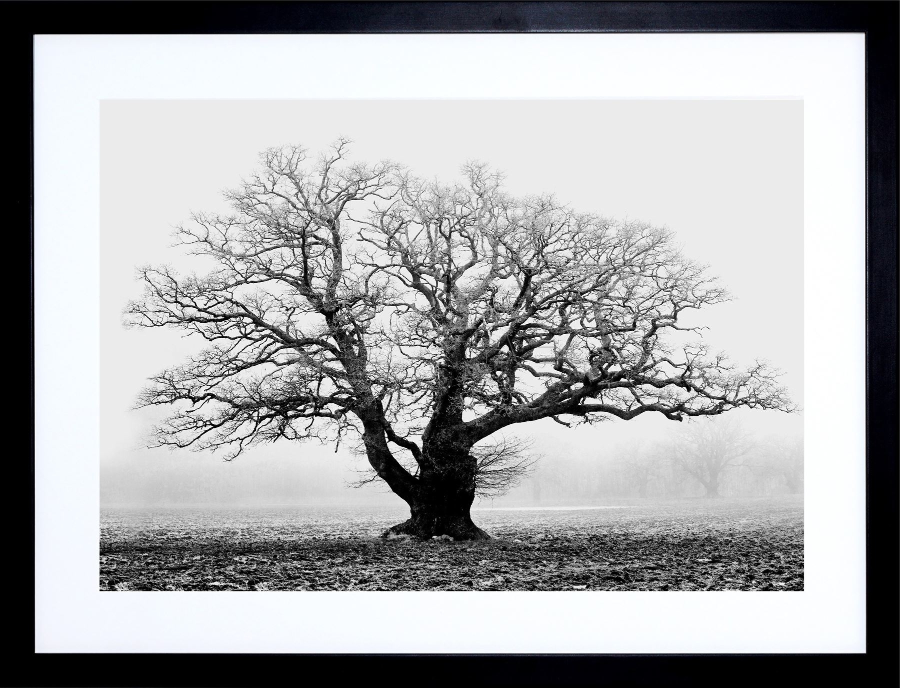 Old Oak Tree Black White Mist Fog Photo Framed Art Print Picture With Regard To Famous Black And White Framed Art Prints (View 11 of 15)