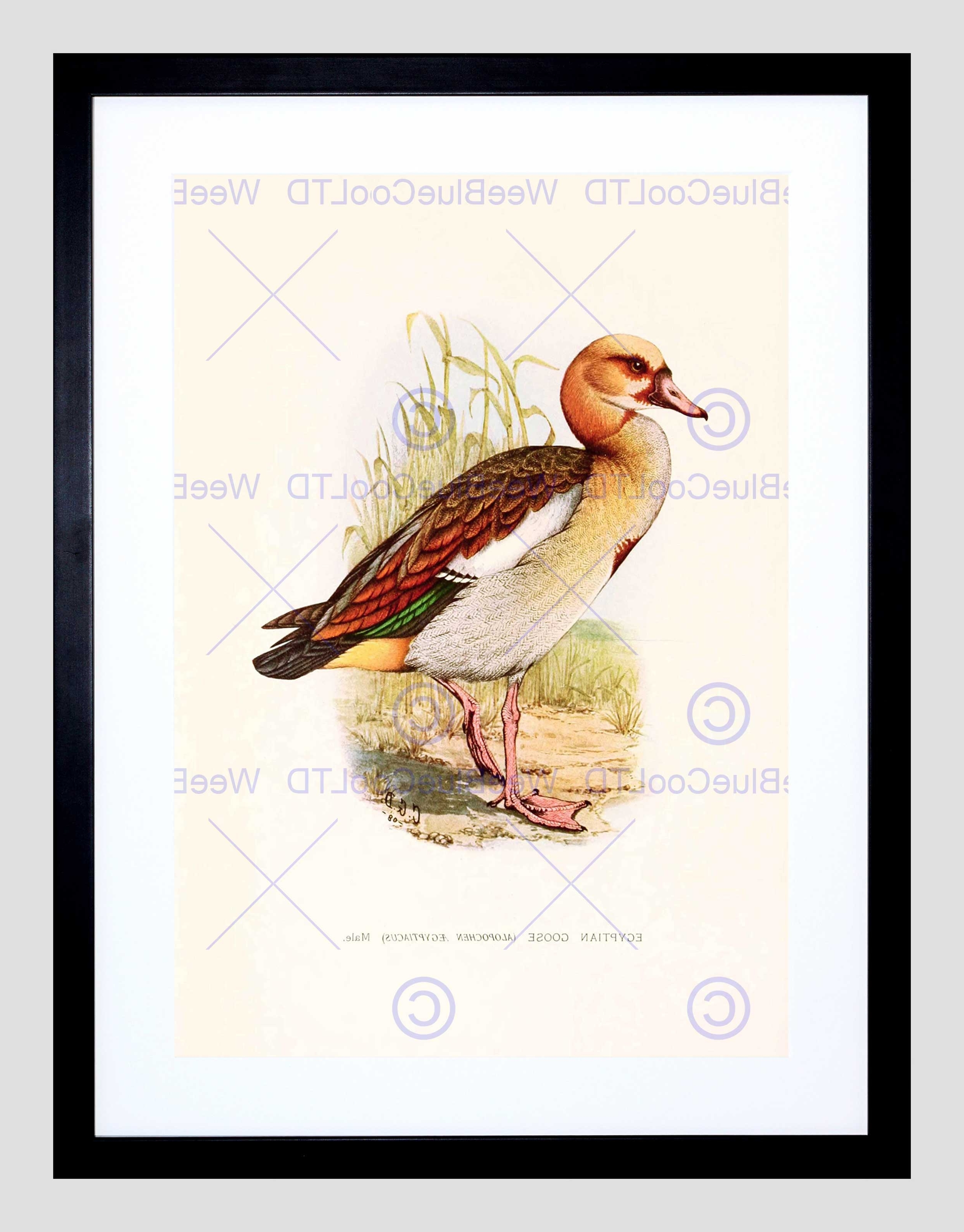 Painting Birds South Africa Horsbrugh Egyptian Goose Framed Art With Regard To Most Recent South Africa Framed Art Prints (Gallery 9 of 15)