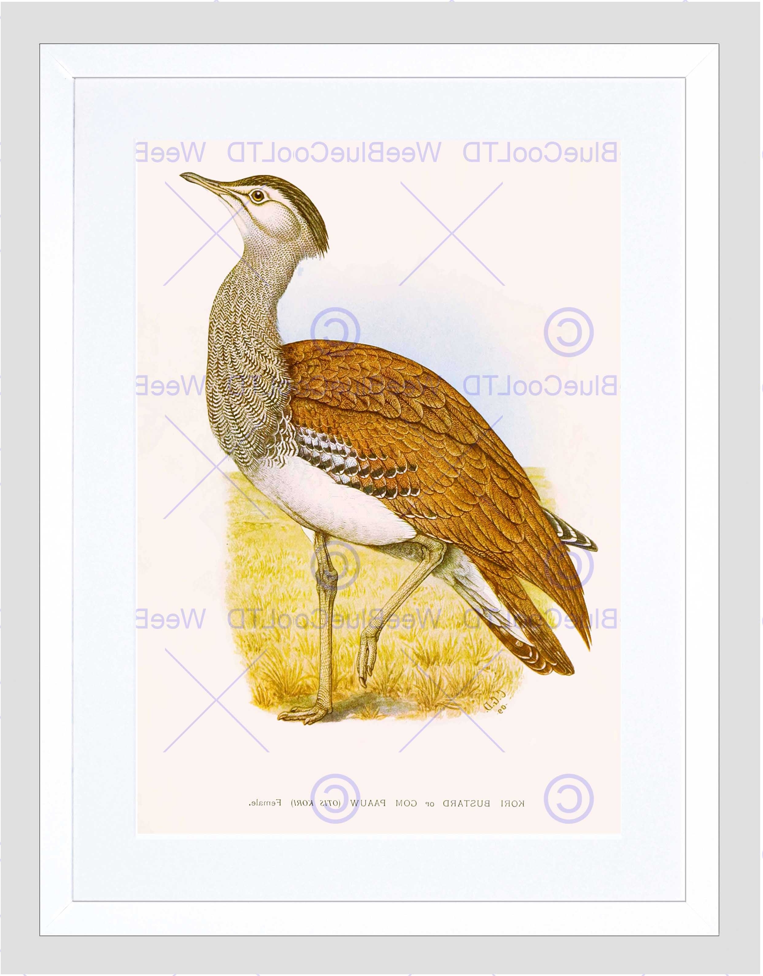 South Africa Framed Art Prints For Well Liked Painting Birds South Africa Horsbrugh Kori Bustard Framed Art (View 10 of 15)