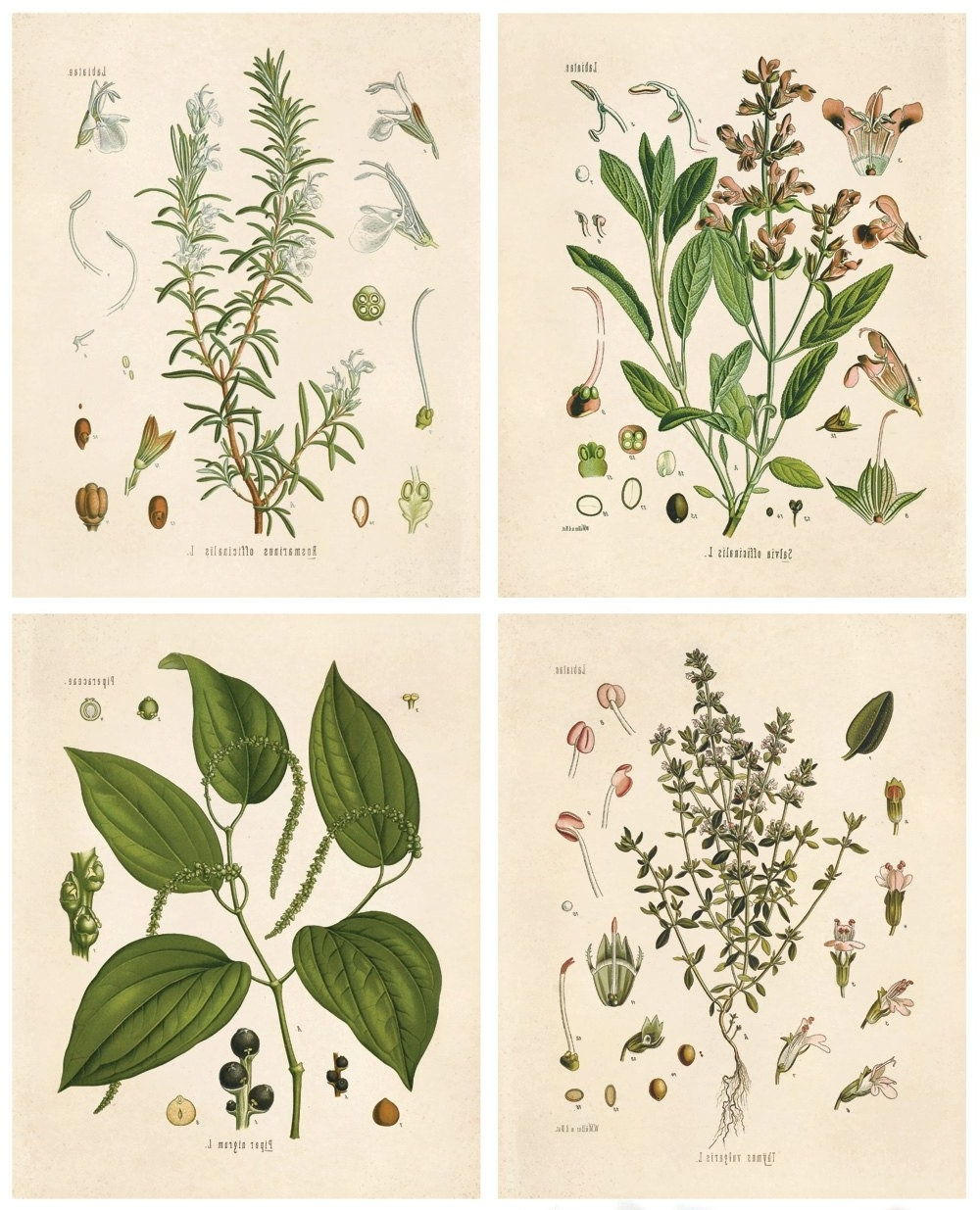 Botanical Herb Print Set. Kitchen Art Posters Set Of  (View 1 of 20)