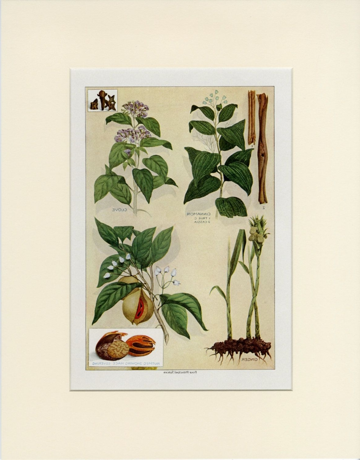 Famous Vintage Herb Wall Art, Four Principal Spices: Cinnamon Clove Ginger Throughout Herb Wall Art (View 3 of 20)