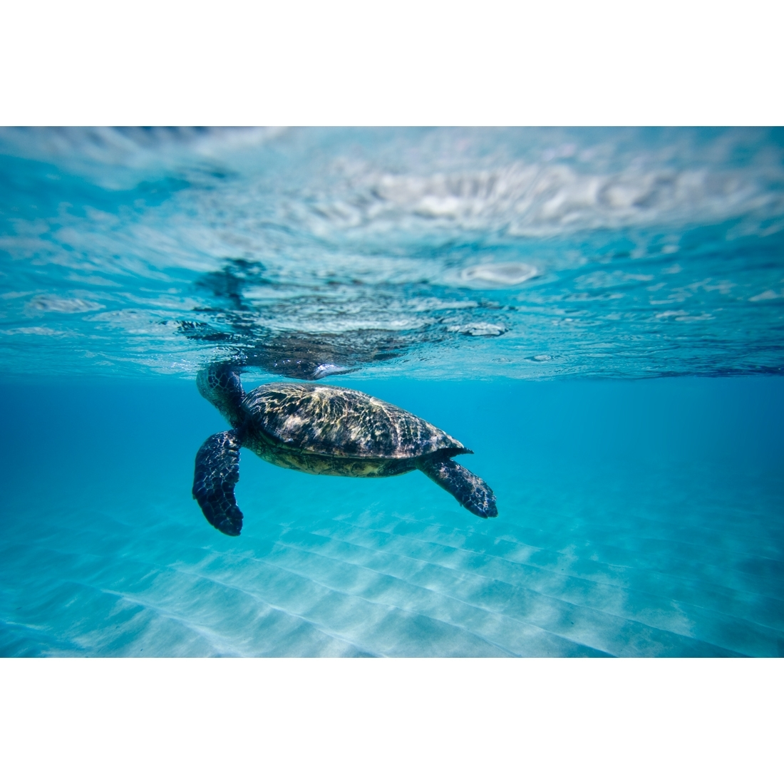 Waimea Turtle – Canvas Print – Wall Art – Australia Inside Most Popular Sea Turtle Canvas Wall Art (Gallery 18 of 20)