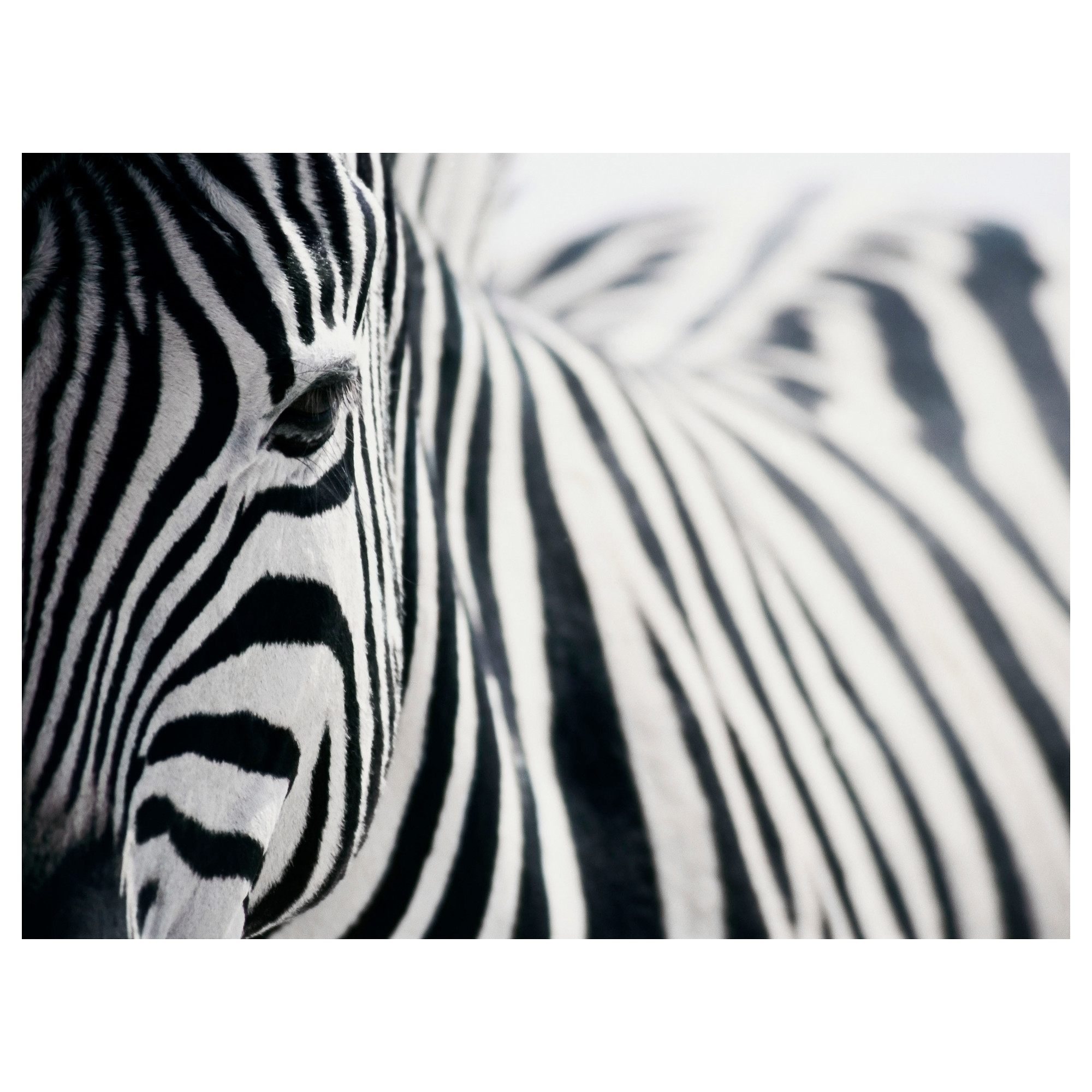 Widely Used Zebra Canvas Wall Art – Culturehoop Intended For Zebra Canvas Wall Art (View 12 of 20)