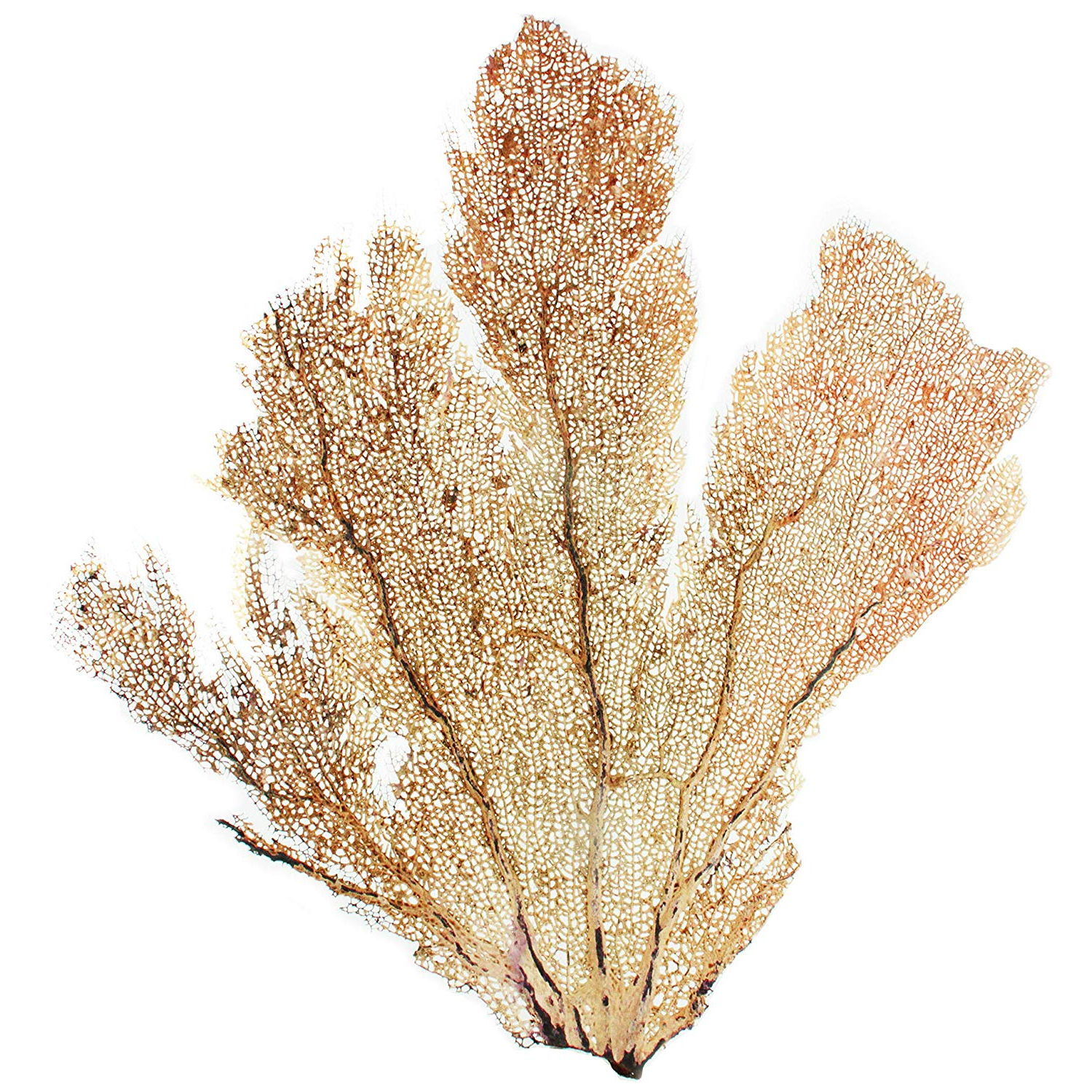 Latest 2 Piece Heart Shaped Fan Wall Decor Sets For Amazon: Slice Of Goodness Natural Decorative Dried Coral Sea (View 5 of 20)
