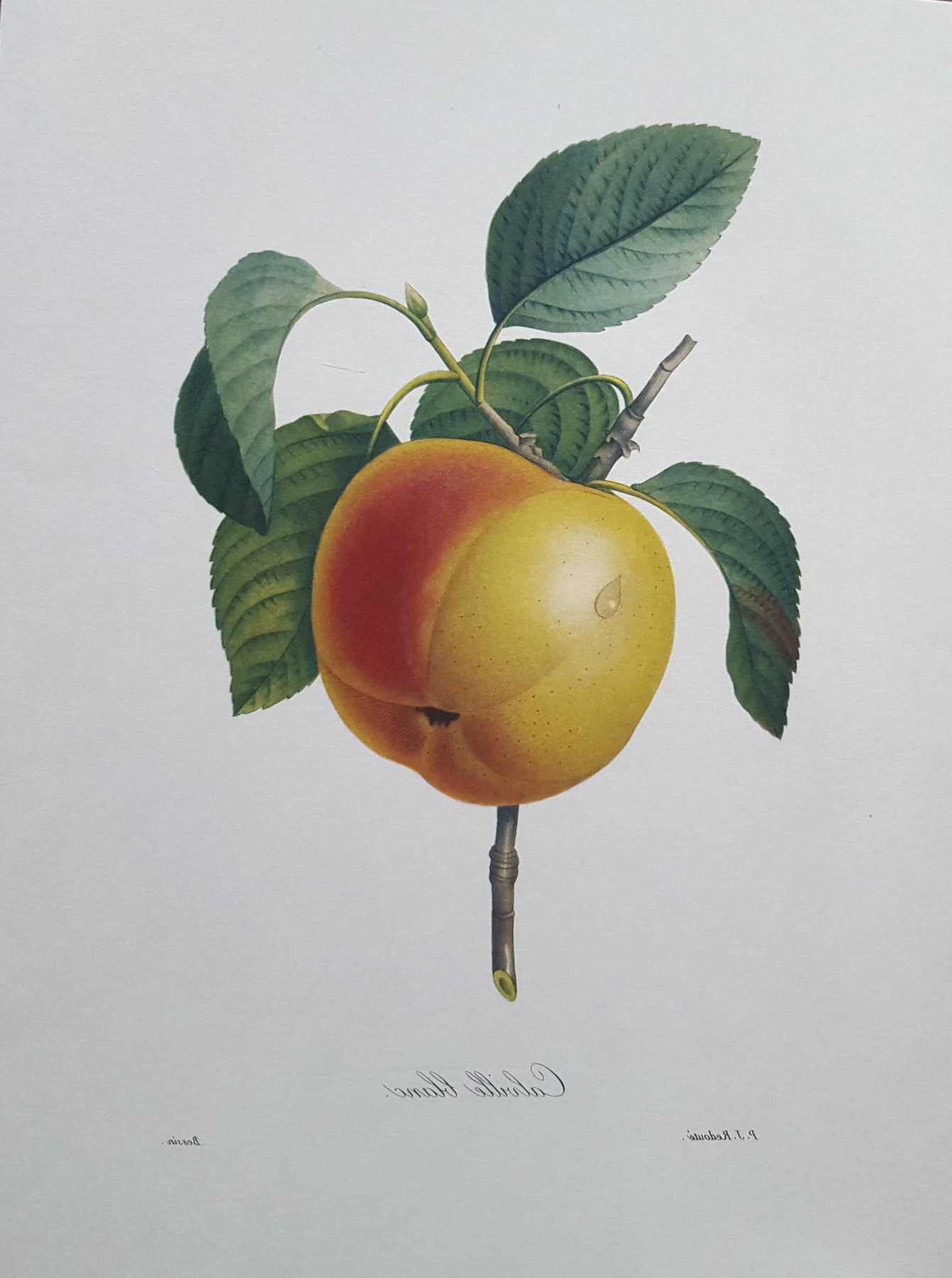 Calville Blanc (apple) – Pierre Joseph Redouté – Vintage Pertaining To Recent Apple Orchard Printed Kitchen Tier Sets (View 16 of 20)