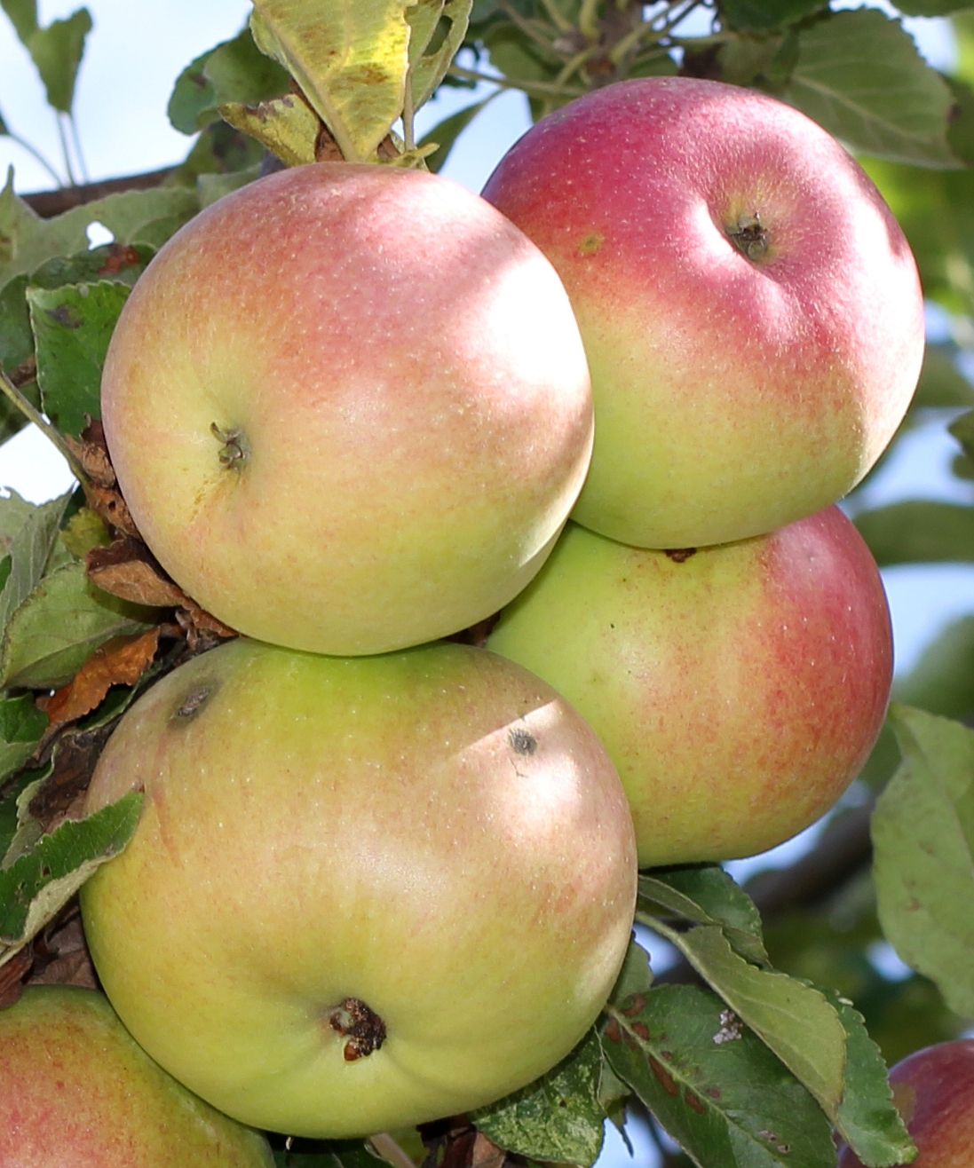 Mcintosh (Apple) – Wikipedia In Latest Apple Orchard Printed Kitchen Tier Sets (View 11 of 20)