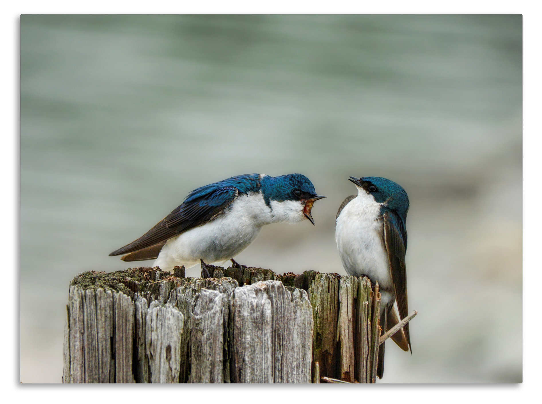 'angry Swallows' Photographic Print On Wrapped Canvas For Trendy Swallows Wall Decor (set Of 6) By Highland Dunes (View 5 of 20)